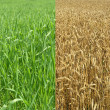 Harvest Field - Stock Photo