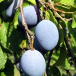 Plums on tree — 图库照片