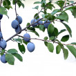 Stock Photo: Plums Plum