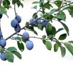 prune prunes — Photo