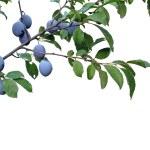 plommon plommon frukt på brunch — Stockfoto
