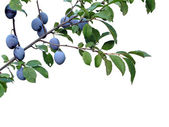 Plums Plum fruit on brunch — Stock Photo