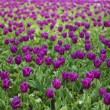 Field of tulip - Stock Photo