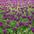 Stock Photo: Field of tulip