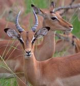 Portrait of impala mail. — Foto Stock