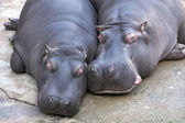 Hippopotamus couple resting together — Stock Photo