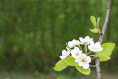 The branch of the pear tree with blossom — Stock Photo