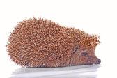 Hedgehog on the white background — Stock Photo