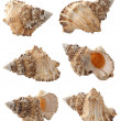 Conch — Stock Photo #2833665