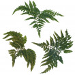 Fern leafs — Stock Photo #3165599