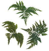 Fern leafs — Stock Photo
