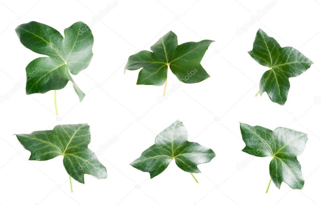 Ivy Leaves Clip Art Ivy Leaf Border Clip Art