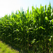 Stock Photo: Corn field
