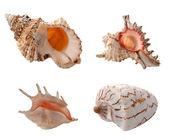 Sea shells — Foto Stock