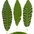 Green chestnuts leaves — Stock Photo