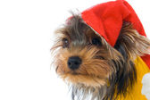 Terrier in a New Year's hat — Stock Photo
