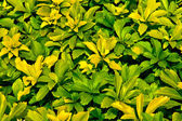 Background of yellow-green leaves — Stock Photo