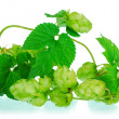 Stock Photo: Golden hops on white
