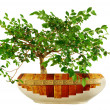 Elm tree bonsai — Stockfoto