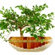 Elm tree &quot;bonsai&quot; - Stock Photo