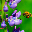 Lupine and bumblebee — Stock Photo