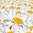 Field white camomile — Stock Photo