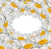 White camomile — Stock Photo