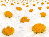 Field white camomile — Stock Photo