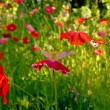 Flower field poppy — Stock Photo #3382810