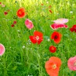 Flower field poppy — Stock Photo #3382812