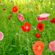 Flower field poppy — Stock Photo