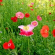 Flower field poppy — Stock Photo #3383246