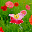 Flower field poppy — Stock Photo #3383248
