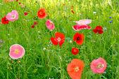 Flower field poppy — Stock Photo