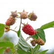 Ripe appetizing raspberry — Stock Photo #3393911