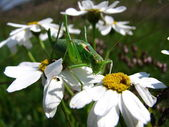 Grasshopper on a camomile. — Stock Photo