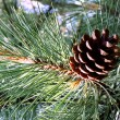 The cone pine. — Stock Photo