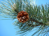 The pine cone. — Stock Photo