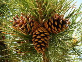 Three pine cones in wood. — Stock Photo