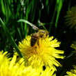 Bee and dandelions. — Stock Photo
