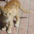 Постер, плакат: Red playful kitten
