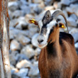 Stock Photo: Wild goat