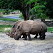 Stock Photo: Rhinoceros in wild.