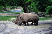Rhinoceros in the wild. — Stock Photo