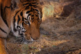 Tigre — Fotografia Stock