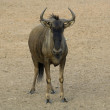 Blue wildebeest — Stock Photo #3003034