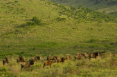 Blue wildebeest in the hills of Zululand — Stock Photo