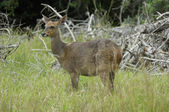Cape bushbuck ewe — Stock Photo