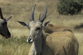 Young Cape eland — Stock Photo