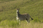 Chapman's zebra — Stock Photo
